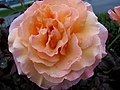 Tahitian Sunset Rose (254883466).jpg