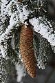 Tannenzapfen 2011-02-01-5733.jpg