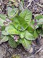 Taraxacum serotinum sl34.jpg