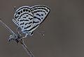 Tarucus balkanicus - Balkan kaplanı - Little Tiger Blue.jpg