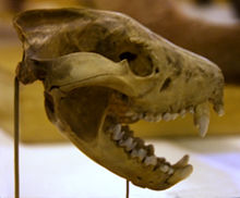 A skull suspended from the rear on a thin post, shown in profile, with the jaw open at around 45 degrees, showing large canines and a large bone joint for the jaw. More bones can be seen in the background.