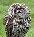 Tawny Owl (4570449055).jpg