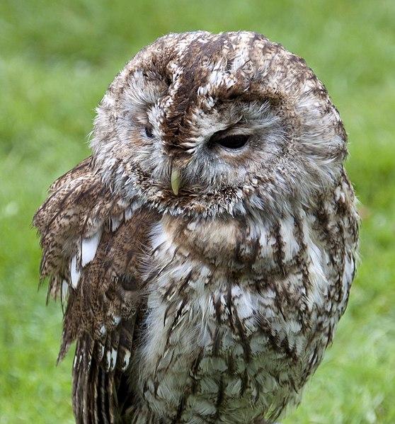 File:Tawny Owl (4570449055).jpg