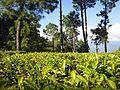 Tea plantation below Kausani 11-2009 - panoramio.jpg