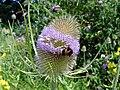 Teasel (Dipsacus fullonum) with bumblebee, Croxley Green (29097367541).jpg