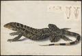 Tejus teguexim - met schedel - 1818 - Print - Iconographia Zoologica - Special Collections University of Amsterdam - UBA01 IZAA100157.tif