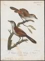 Telophorus erythropterus - 1796-1808 - Print - Iconographia Zoologica - Special Collections University of Amsterdam - UBA01 IZ16600497.tif