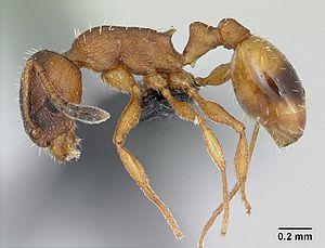 Arbeiterin von Temnothorax unifasciatus