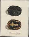 Testudo punctata - schild - 1700-1880 - Print - Iconographia Zoologica - Special Collections University of Amsterdam - UBA01 IZ11600103.tif