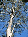 Tetameles nudiflora Habit (2).jpg