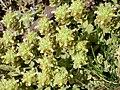 Teucrium capitatum subsp. capitatum 2009-7-25 SierraNevada.jpg