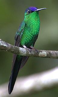 Woodnymph Genus of birds