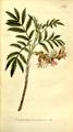 The Botanical Magazine, Plate 301 (Volume 9, 1795).png