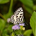 The Common Pierrot (Castalius rosimon)? (16277461537).jpg