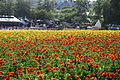 The Flower Fields at Carlsbad Ranch 79 2014-04-28.jpg