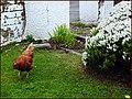 "The Myopic Chicken. ""Now where did I put my glasses"" Strath Carron. - panoramio.jpg"