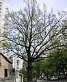 The Oak 300 years old 1.jpg