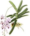 The Orchid Album-01-0146-0048-Vanda coerulescens-crop.png