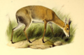 The book of antelopes (1894) Cephalophus abyssinicus.png