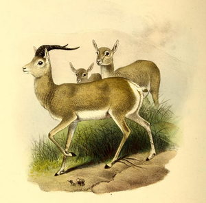 Bovidae in Chinese mythology - Gazella picticaudata, from The Book of Antelopes (1894)