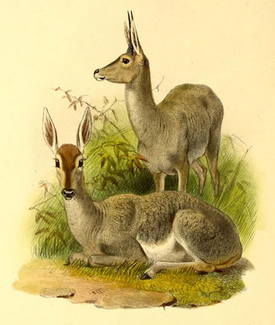 The book of antelopes (1894) Pelea capreolus.png