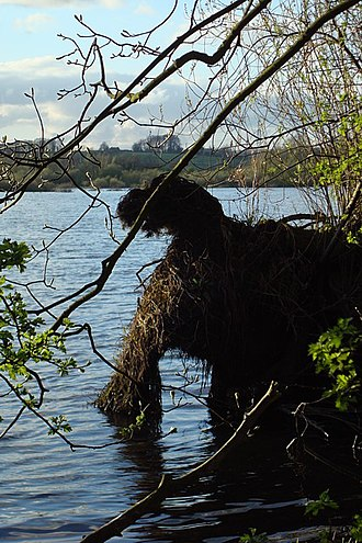Lake monster - Tree roots exposed by water and covered in vegetation - a sight that could be misidentified as a lake monster.