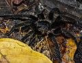 Theraphosidae sp.jpg