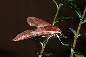 Foto eines rötlichen Falters an Pflanzenstengeln