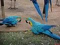 Thermas dos Laranjais, Olímpia. Recinto de aves. Arara-canindé (Ara ararauna), também conhecida como arara-de-barriga-amarela - panoramio.jpg