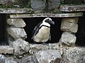 This penguin was not thrilled with the idea of leaving its cave (540095844).jpg