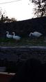 Three Swan Buddies.png
