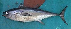 Thunnus tonggol.jpg