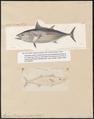 Thynnus pelamys - 1700-1880 - Print - Iconographia Zoologica - Special Collections University of Amsterdam - UBA01 IZ13500208.tif