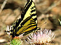 Tiger Swallowtail Butterfly (19984085821).jpg