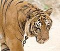 Tiger Temple (6032440994).jpg