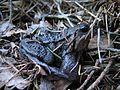 Toad in Norway1.jpg