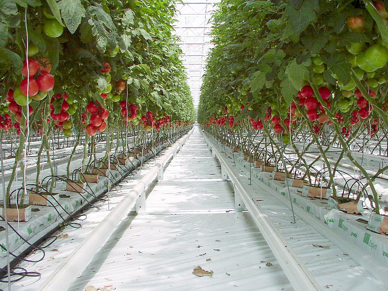 Fichier:Tomato P5260299b.jpg