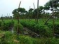 Tomato farm Chamarajanagar District IMG20170828084351.jpg