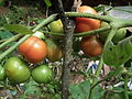 Tomato plant from Kerala 5040.JPG