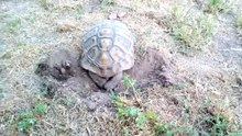 File:Tortoise laying eggs.webm