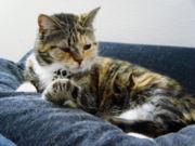 A teknőctarka macska fekete, narancssárga és fehér színű szőrzettel rendelkezik