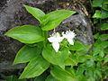 Tradescantia fluminensis (Flowers).jpg