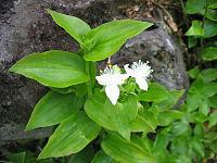 Tradescantia fluminensis (Flowers)