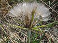 Tragopogon dubius M2 (1).JPG