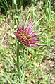 Tragopogon porrifolius flower.jpg