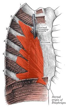 m. transversus thoracis