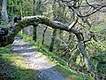Tree 'arch', Dhoon glen, Isle of Man - geograph.org.uk - 419658.jpg