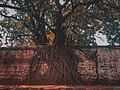 Tree Growing on Fence of Freedom Park in Lagos.jpg