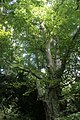 Tree cannopy with dappled sunshine in Harestanes woodland.jpg
