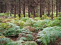 Trees and ferns at Kings Forest, Suffolk.jpg